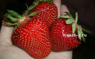 Сорта клубники для казахстана