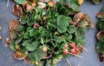 Почему сохнут листья у клубники на подоконнике
