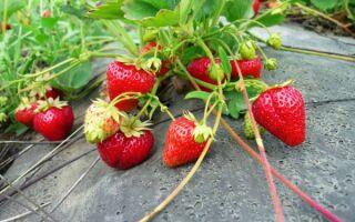 Сорта земляники и клубники для круглогодичного выращивания