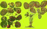 Белая пятнистость листьев клубники лечение
