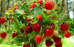 Как вырастить рассаду садовой земляники из семян