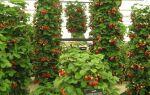 Правильный уход и выращивание вьющейся клубники