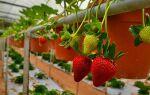 Выращивание клубники на дому нет ничего проще