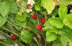 Нужно ли скашивать клубнику после сбора урожая