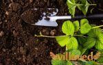 Почва для рассады клубники