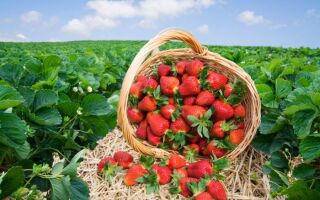 Лучшие сорта клубники для выращивания в украине