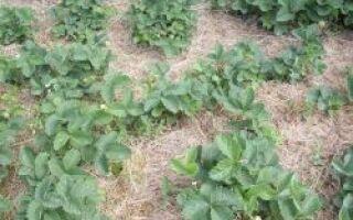 Можно ли мульчировать клубнику скошенной травой