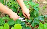 Чем подкормить клубнику в августе после обрезки листьев