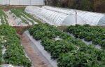 Выращивание клубники в туннелях