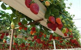 Оборудование для выращивания клубники круглый год