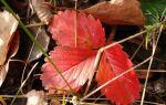 Почему краснеют листья у клубники что делать