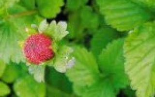 Почему вырождается клубника