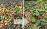 Уход за ремонтантной клубникой осенью обрезка
