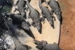 Ферма крокодилов - жутко интересная таиландская экскурсия
